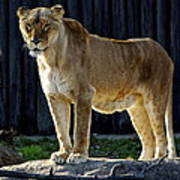 Lioness Poster by Frozen in Time Fine Art Photography