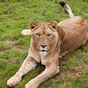 Lioness Sitting In Grass Poster