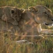 Lioness With Cub Poster