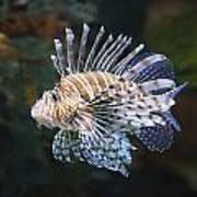 Lionfish - Gatlinburg Tn Ripleys Aquarium Poster by Dave Allen