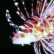 Lionfish 3 Poster