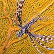 Lionfish Against Yellow Fan Coral Poster