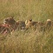 lions in the Maasai Mara park in kenya Poster
