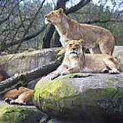 Lions Posing Poster