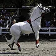 Lipizzaner Stallion Jumping Poster