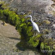 Little Blue Heron - Egretta Caerulea - White Morph Poster