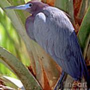 Little Blue Heron Male In Breeding Poster