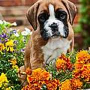 little Boxer Puppy in flowers Poster by Doreen Zorn