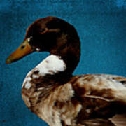 Little Brown Duck Poster