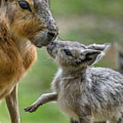 Little Cavy With Mother Poster