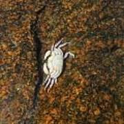 Little Dead Crab Under Water Poster