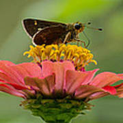 Little Glassywing Skipper Butterfly Poster