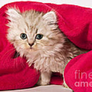 Little Kitten With Pink Blankie Poster