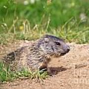 Little Marmot Poster