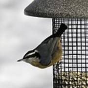 Little Nuthatch Poster