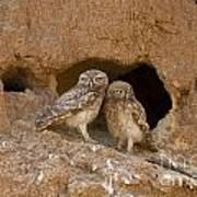 Little Owl Athene Noctua  Poster