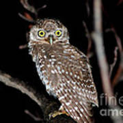 Little Owl Or Spotted Owlet Poster