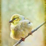 Little Softie Gold Finch - Digital Paint Poster