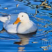 Little White Duck Poster