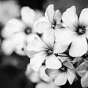 Little White Flowers. Poster by Slavica Koceva