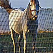Little White Pony Poster