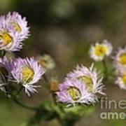 Little Wild Flowers Poster