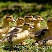 Yellow Muscovy Duck Ducklings Running Fast  Poster