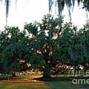 Live Oak Bathed In Evening Light Poster