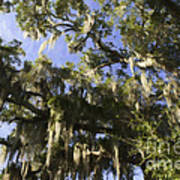 Live Oak Dripping With Spanish Moss Poster