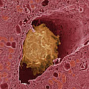 Liver Macrophage Cell Poster
