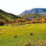 Livestock Grazing In Colorado Poster