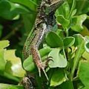 Lizard In Hedge Poster