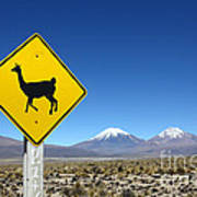 Llamas Crossing Sign Poster