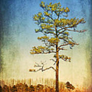 Loblolly Pine Along The Chesapeake Poster