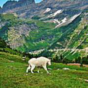 Logan Pass Mountain Goat Poster