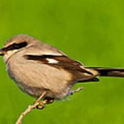 Loggerhead Shrike Poster