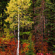 Lone Aspen In Fall Poster