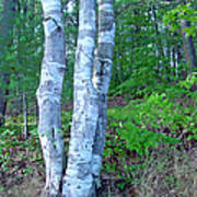 Lone Birch in the Maine Woods Poster