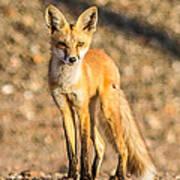 Lone Fox Poster