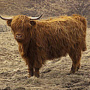Lone Highland Cow Poster