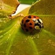 Lone Lady Bird Beetle Poster
