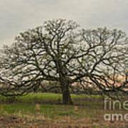 Lone Oak - Spring Poster