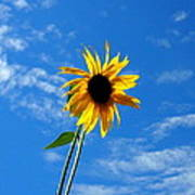 Lone Sunflower In A Summer Blue Sky Poster