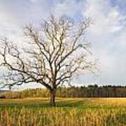 Lone Tree In Cades Cove Poster