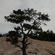 Lone Tree In Stone Mountain State Park North Carolina Poster