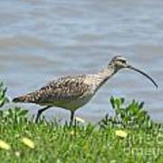 Long Billed Curlew At Palacios Bay Tx Poster
