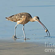 Long-billed Curlew Catching Crab Poster