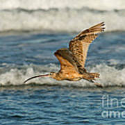Long-billed Curlew Flying Over The Surf Poster