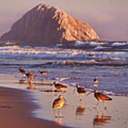 Long Billed Curlew - Morro Rock Poster