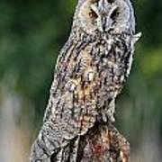 Long-eared Owl 4 Poster